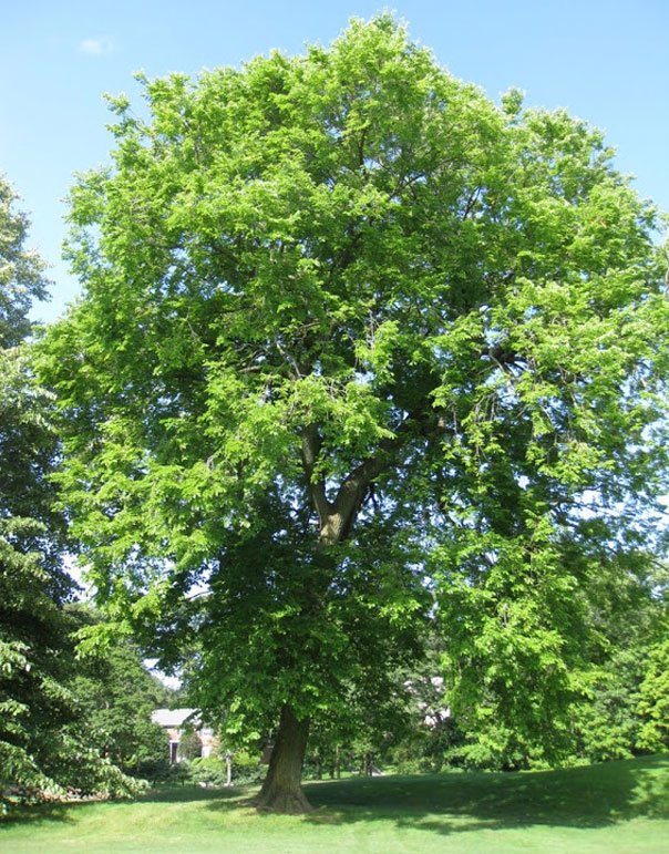 Dutch-Elm-Disease-1