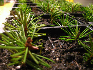 fir-tree-cuttings-2