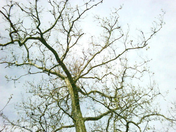 london-plane-tree-anthracnose