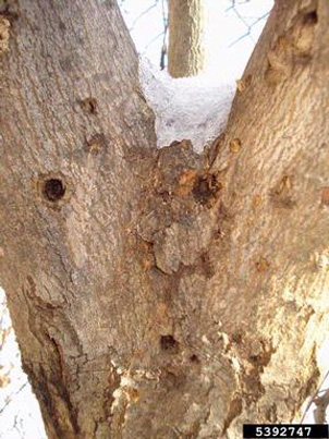 Asian Longhorned Beetle Exit Holes Source: Kenneth R. Law, USDA APHIS PPQ, Bugwood.org