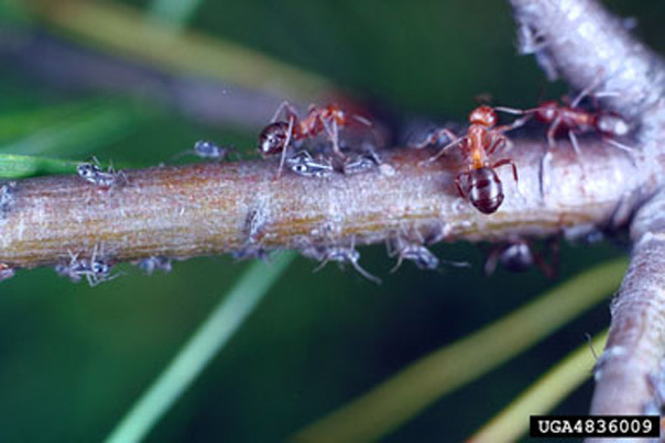 Aphids with their ant bodyguards Source: E. Bradford Walker, Vermont Dept. of Forests,  Parks and Recreation; Bugwood.org