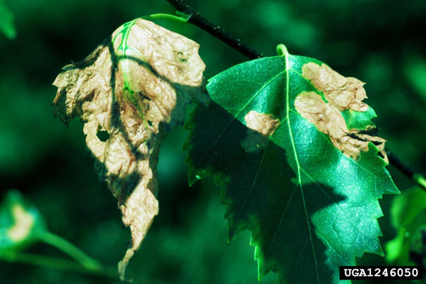Birch Leafminer Damage Source: Whitney Cranshaw, Colorado State University, Bugwood.org