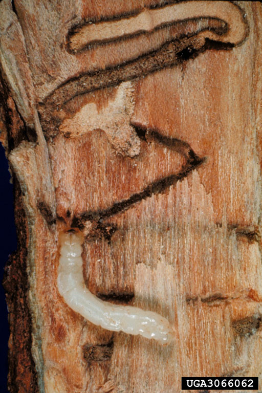 Larva and gallery of the Bronze Birch Borer Source: David G. Nielsen, The Ohio State University, bugwood.org