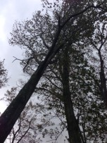 Looking up at these trees, you can see that one is leaning dangerously.