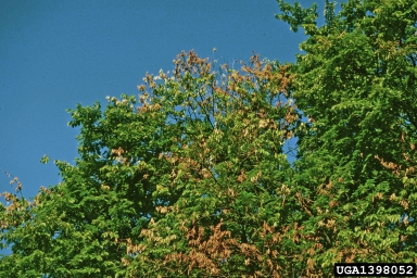 Elm tree branches affected by Dutch Elm Disease. Source:  USDA Forest Service - Northeastern Area Archive, USDA Forest Service, Bugwood.org
