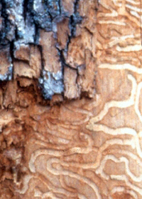 This is the damage that Emerald Ash Borer larvae cause just beneath the bark.