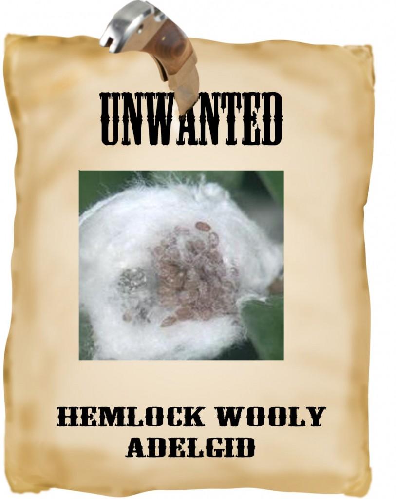 unwanted adelgid