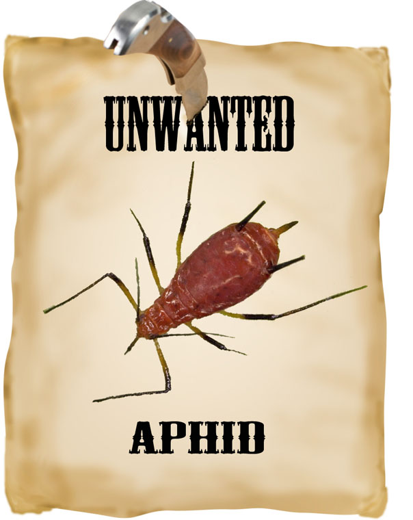 unwanted aphid