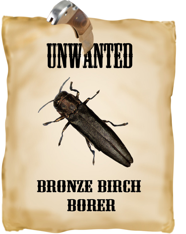 unwanted birch borer