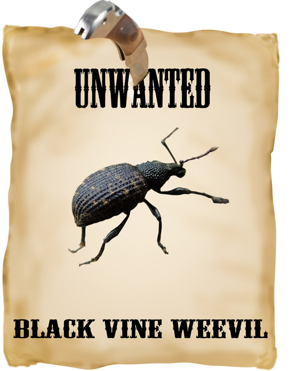 unwanted black vine weevil