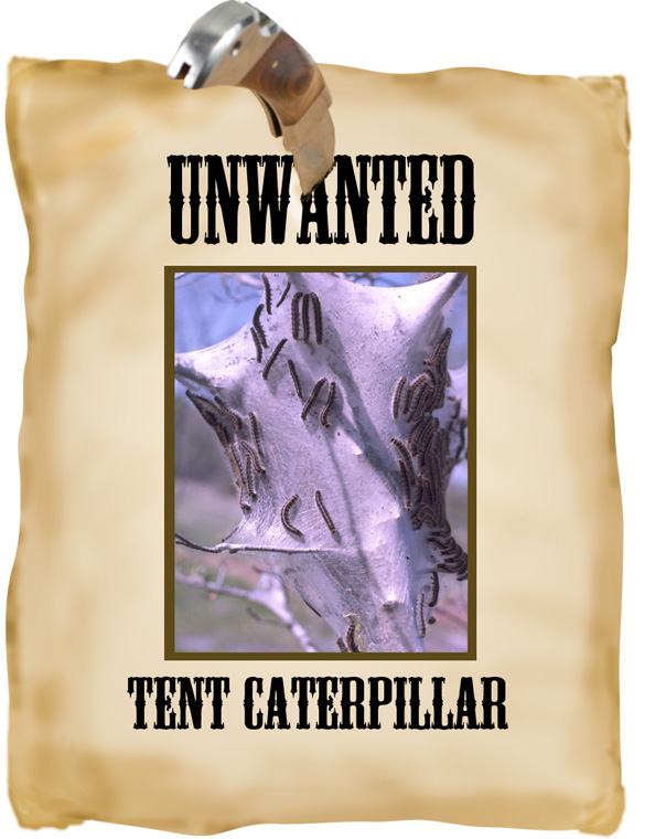 unwanted tent caterpiller